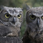 Great Horned Owl Juveniles    Photo by Chad Zierenberg