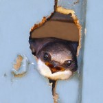 012 tree swallow looking out of nest PC 300