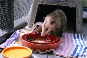Virginia Opossum are fascinating—they are the only marsupial (pouched) animals in North America.
