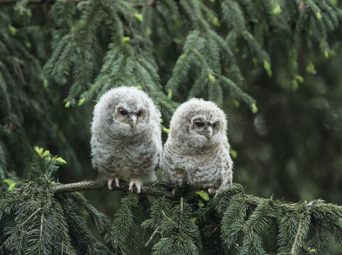 Two Great Horned Owl reunites in two weeks!