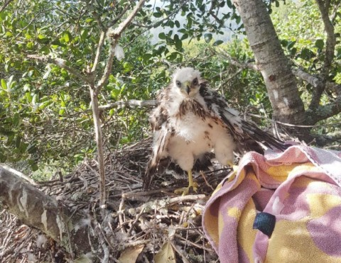 Fledgling Cooper's hawk rescued in St. Helena's Crane Park
