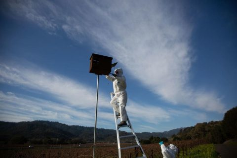 Barn owl boxes in Napa Valley will help vineyards and homeowners